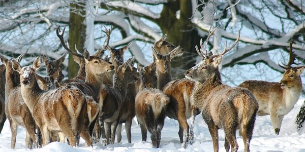 Red Deer in Chatsworth Park