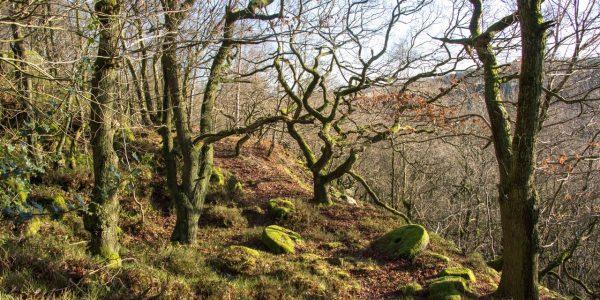 Ancient oak woodland, near Baslow